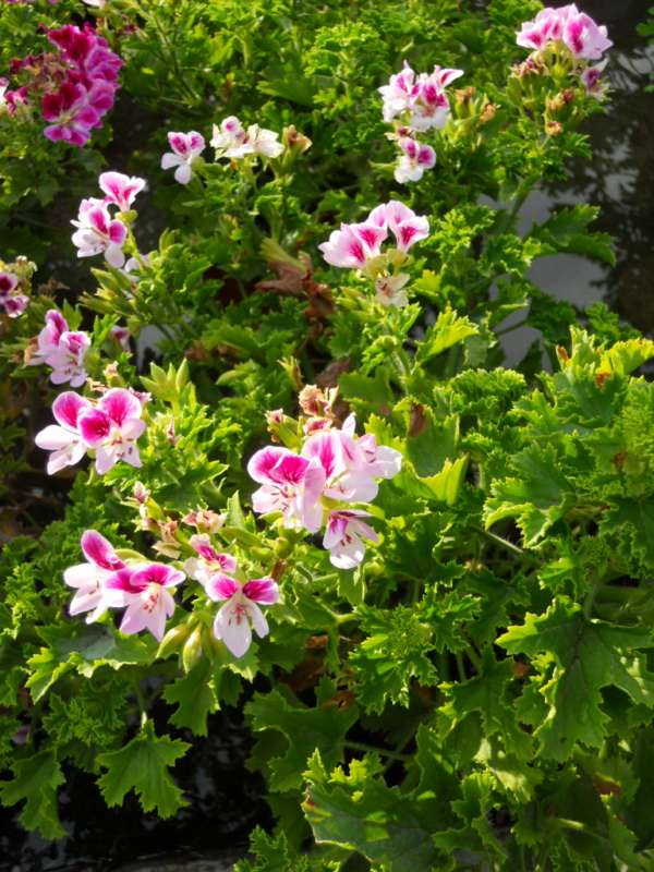 Geranium crispum 'Randy' v 1