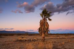 Palm Tree in AZ desert