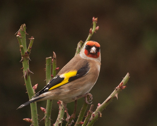 Some sort of Finch   by DaveFrost