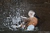 Red Shoveler Takes a Bath by peter orr photography