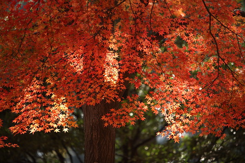 Maple Leaves | by mrhayata