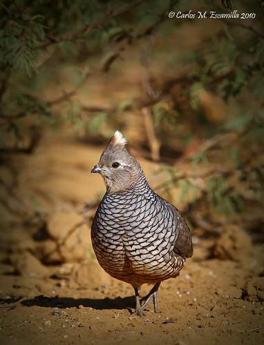 Scaled Quail  IMG_4861edtvg | by cmescamilla