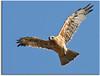 Juvenile Little Eagle by aaardvaark