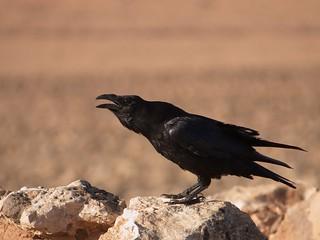 Common Raven (Corvus corax), Tefia, Fuerteventura   by Frank.Vassen