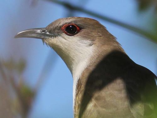 Black-billed Cuckoo (Coccyzus erythropthalmus ) 4-20110516