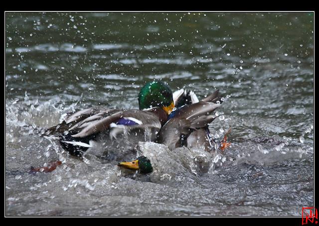 Conflit de canard 12