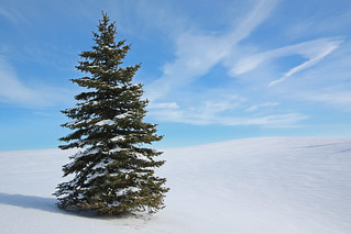 Solitary Fir | by Allen McGregor