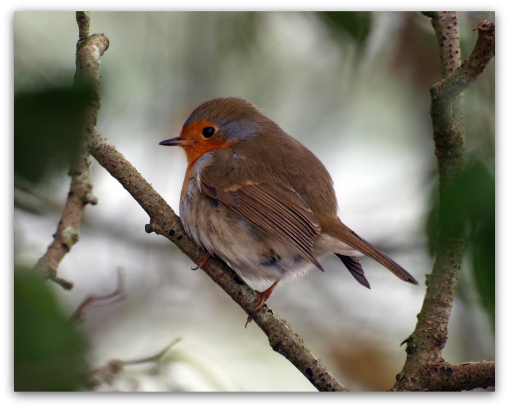 Slide Show Of Some Of My Bird Photos >> Robin Click Here For My Birds In A Slide Show Michiel Thomas