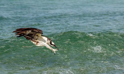 osprey dive | by jccj58