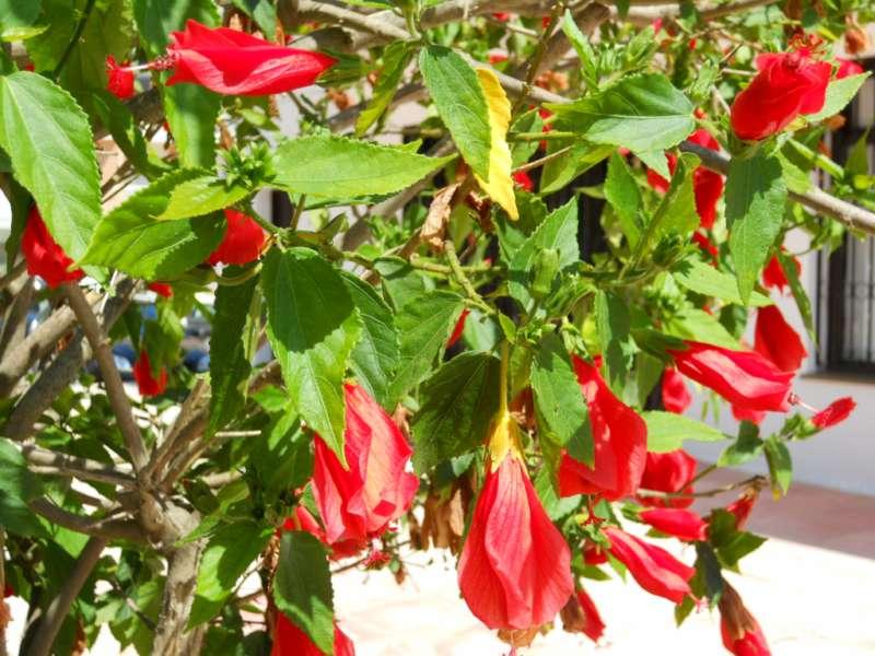Malvaviscus arboreus 1