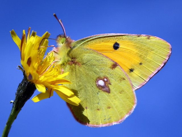 Butterfly-Clouded Yellow (COLIAS CROCEA) - Braşov, Ro.