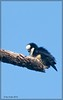 White Fronted Falconet (Microhierax latifrons) by RON PUDIN