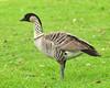 Hawaiian Goose or Nene (Branta sandvicensis) by Frank Shufelt