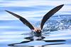 Wedge-tailed Shearwater - splashdown! by marj k