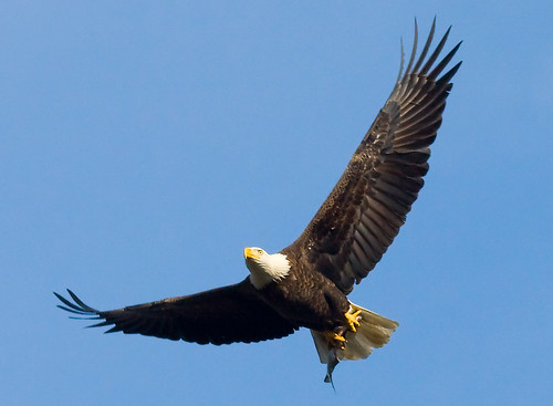 Bald eagle with fish | by U. S. Fish and Wildlife Service - Northeast Region