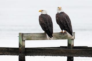 Eagles @ Blackwater | by Nikographer [Jon]