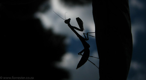 Praying Mantis | by jockforrester