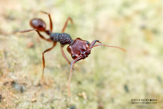 Trap jaw ant (Anochetus sp.) - DSC_5593
