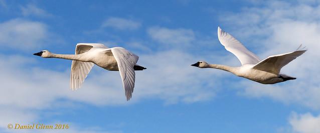 Flight of the Tundra Swans