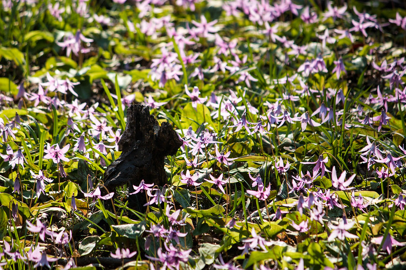 三毳山 カタクリの群生