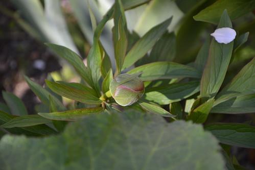Paeonia - pivoines herbacées - Page 3 32290717960_09375975b2