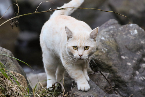 4T4A4549 Cream tabby Japanese cat 薄茶トラ猫