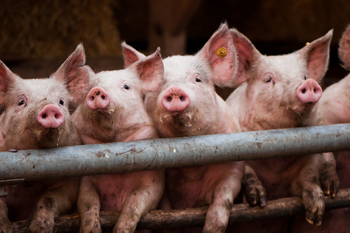 party pigs (71/365) | by Tim Geers
