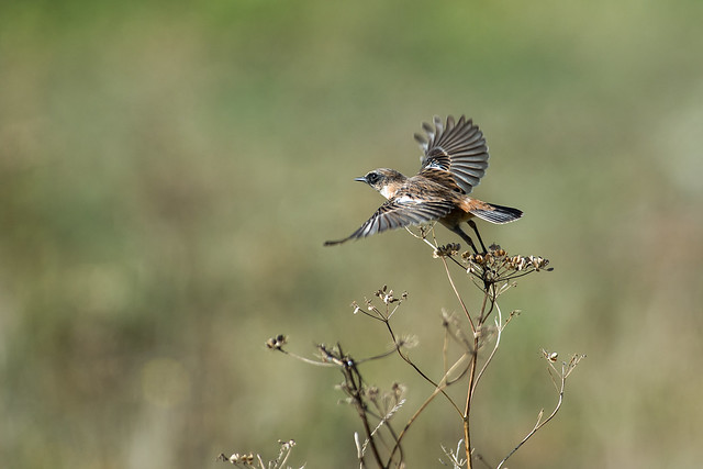 Stonechat ( There are other birds at Tidemills )