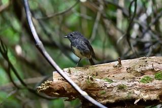 New Zealand Robin | by ndimmock