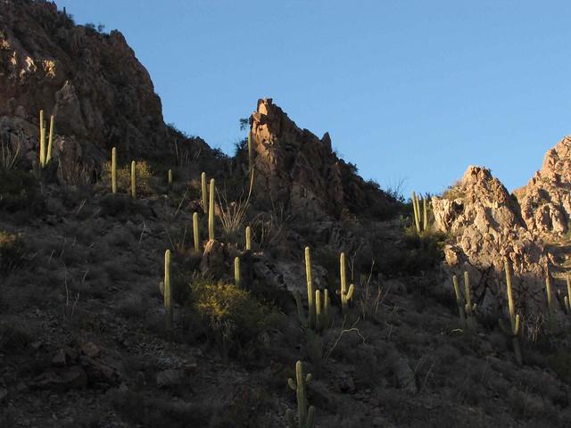Saguaros as the sun goes down - Upper Kielberg Canyon; Galiuro Mountains, SE of San Manuel, AZ