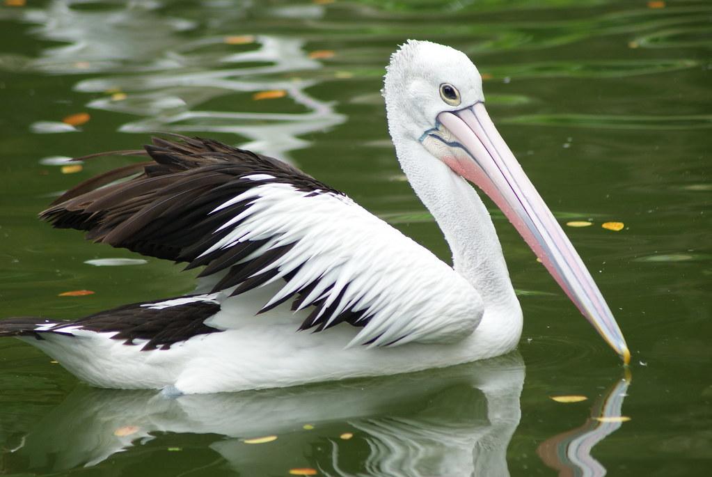 Burung Pelikan Eka Gusti Flickr