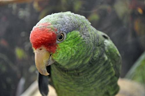 Red-crowned Amazonian Parrot (Amazona viridigenalis) | by warriorwoman531