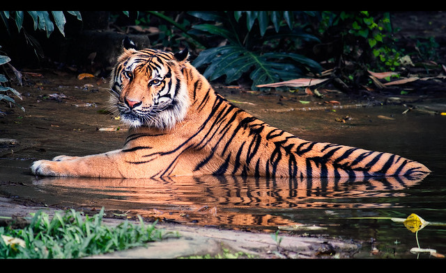 Siberian Tiger (in the tropics)