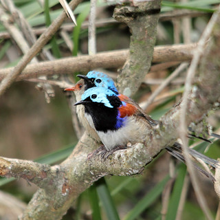 Variegated Fairy-wren | by boombana