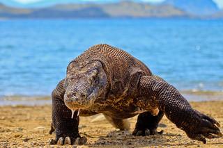 The Komodo Dragon | by Adhi Rachdian