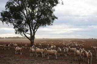 Sheep | by blathlean