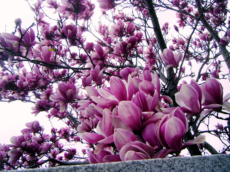 Magnolia por Teresalaloba