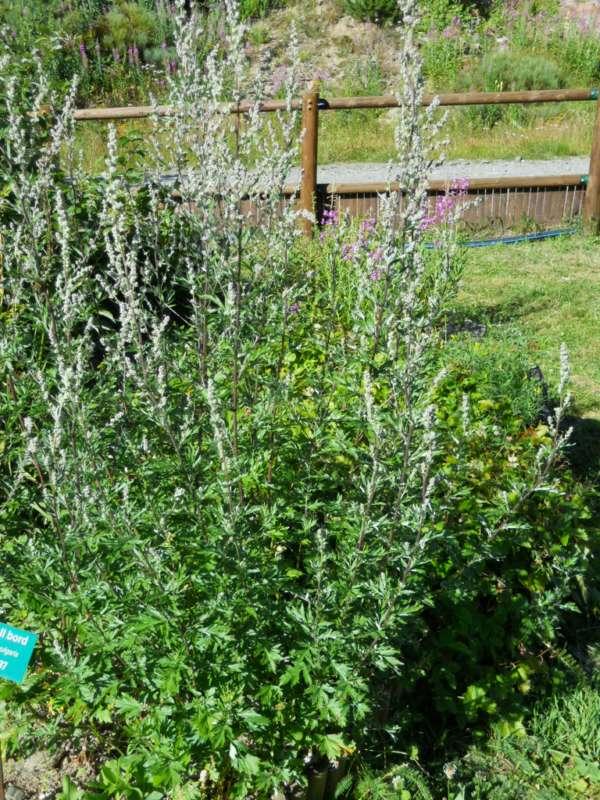 Artemisia vulgaris v 3