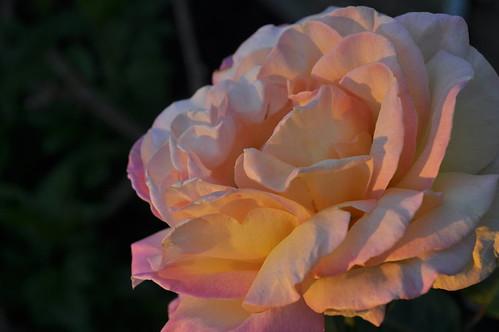 morning pink sunset white flower love rose sunrise outside texas peace romance