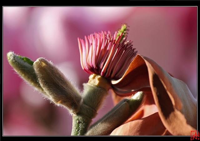 Magnolias For Ever....2/2