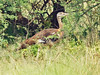Stanley Bustard (Neotis denhami) by David Cook Wildlife Photography