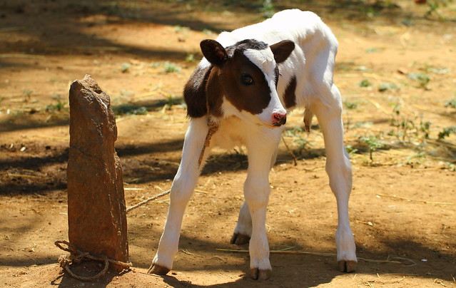 A 2 day old calf
