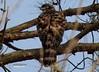 Besra Sparrow Hawk / Accipiter virgatus by André Vogelaere - 李安杰