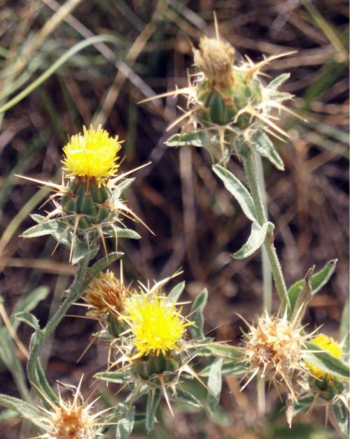 Centaurea melitensis 5424507262_fe51c4a773_o