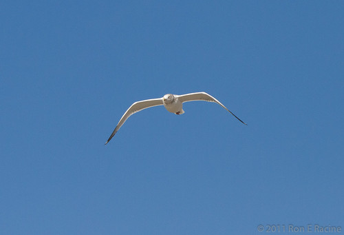 Seagull | by rracine1