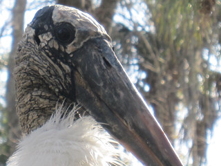 Wood stork | by Liz Henry