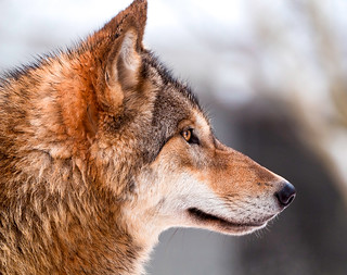 Wolf profile | by Tambako the Jaguar