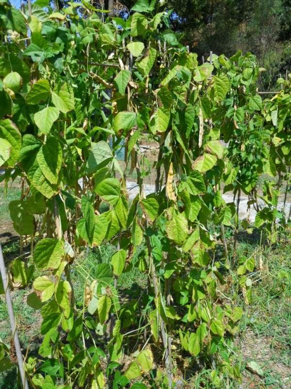 Phaseolus vulgaris v 1