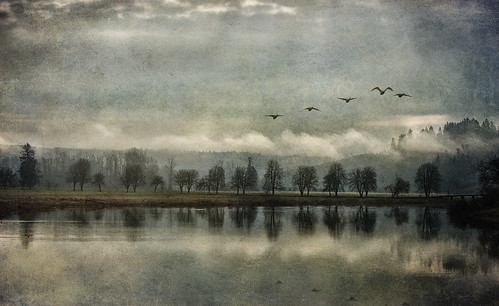 morning trees mist lake reflection birds silhouette fog river landscape dawn flying washington wildlife swans carnation daybreak trumpeter