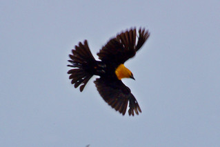 Yellow-headed Blackbird (Xanthocephalus xanthocephalus)0 | by Jaime Robles M.